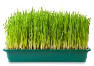 Prepara un superalimento en casa: Pasto de Trigo o Wheatgrass